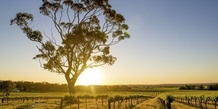 Barossa Valley, Australia.