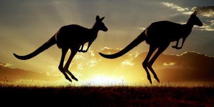 Kenguruita, Australia.