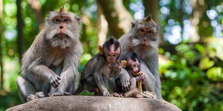 Apinoita Ubudin Monkey Forestissa. Bali, Indonesia.