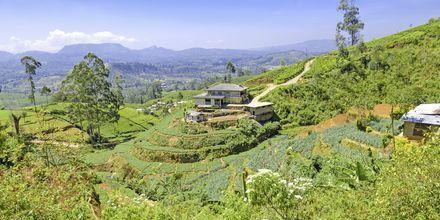 Teeplantaasi. Sri Lanka.