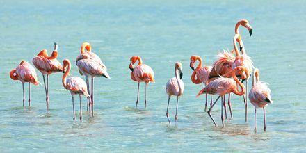 Curaçao on flamingojen suojelualue.