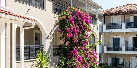 Bougainville, jota kasvaa hotellilla. Dennys Inn. Kalamaki, Zakynthos, Kreikka.