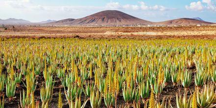 Aloe Vera, Fuerteventura.