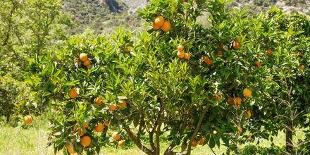 Appelsiinipuita Geranissa.