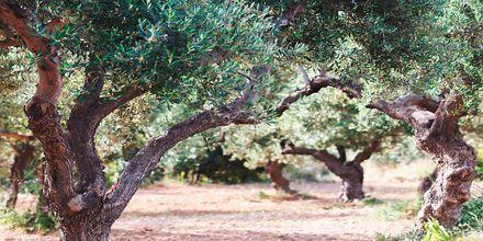 Kaunis oliivilehto.
