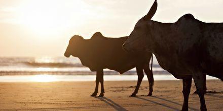 Pyhiä lehmiä, Goa, Intia