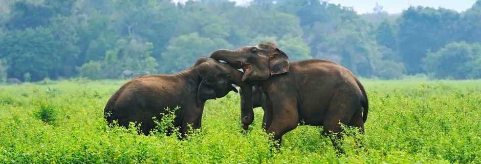 Norsuja luonnonsuojelualueella. Sri Lanka.
