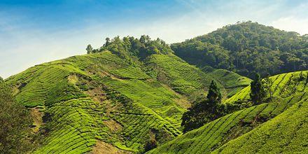 Teeplantaasi, Nuwara Eliya, Sri Lanka.