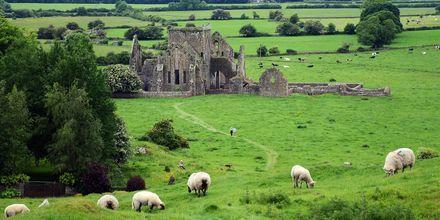 Tunnettu näky Irlannissa: paljon lampaita ja vanhoja linnoituksia.