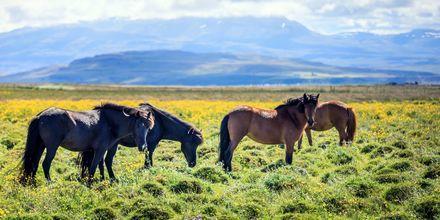 Islannissa on monipuolinen luonto.