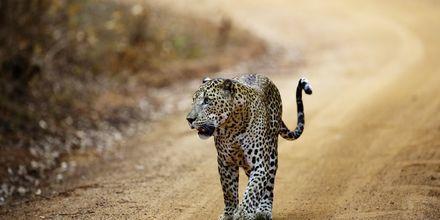 Yalan kansallispuisto. Sri Lanka.
