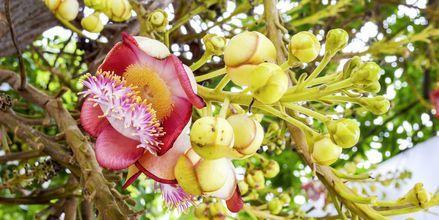 Kukkia Cannonball-puussa.
