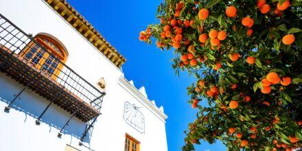 Appelsiineja Los Naranjos Plazalla, Espanjassa.