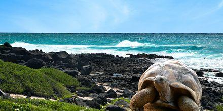 Jättikilpikonnia Mauritiuksella.