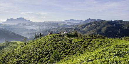 Teeplantaasi Nuwara Eliyassa. Sri Lanka.