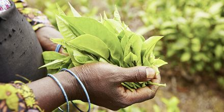Teeplantaasi Sri Lankassa.