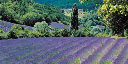 Kaunis laventelipelto, Aix-en-Provence, Ranska.
