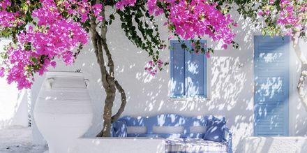 Bougainville -kukkia. Santorini, Kreikka.