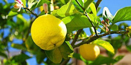 Sitruunapuu, Kos, Kreikka.