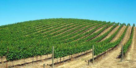 Viiniviljelmä, Napa Valley San Franciscon ulkopuolella, USA.