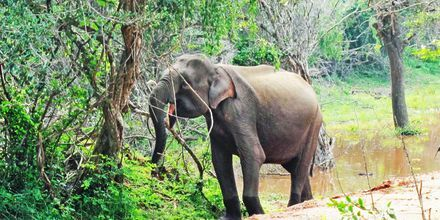Safari Yalan luonnonpuistossa Sri Lankassa.