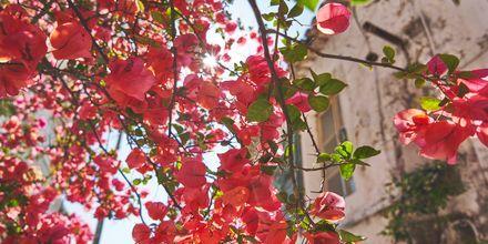 Kukkaloistoa Zagoriassa, Kreikka.