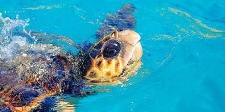 Caretta caretta -merikilpikonna. Zakynthos, Kreikka.